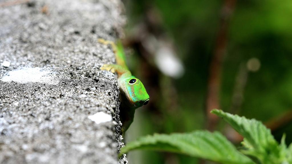 Der Gecko Aus Eisleben